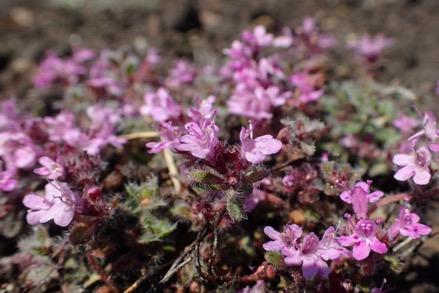 Une image contenant fleur, plante, extérieur, rose  Description générée automatiquement